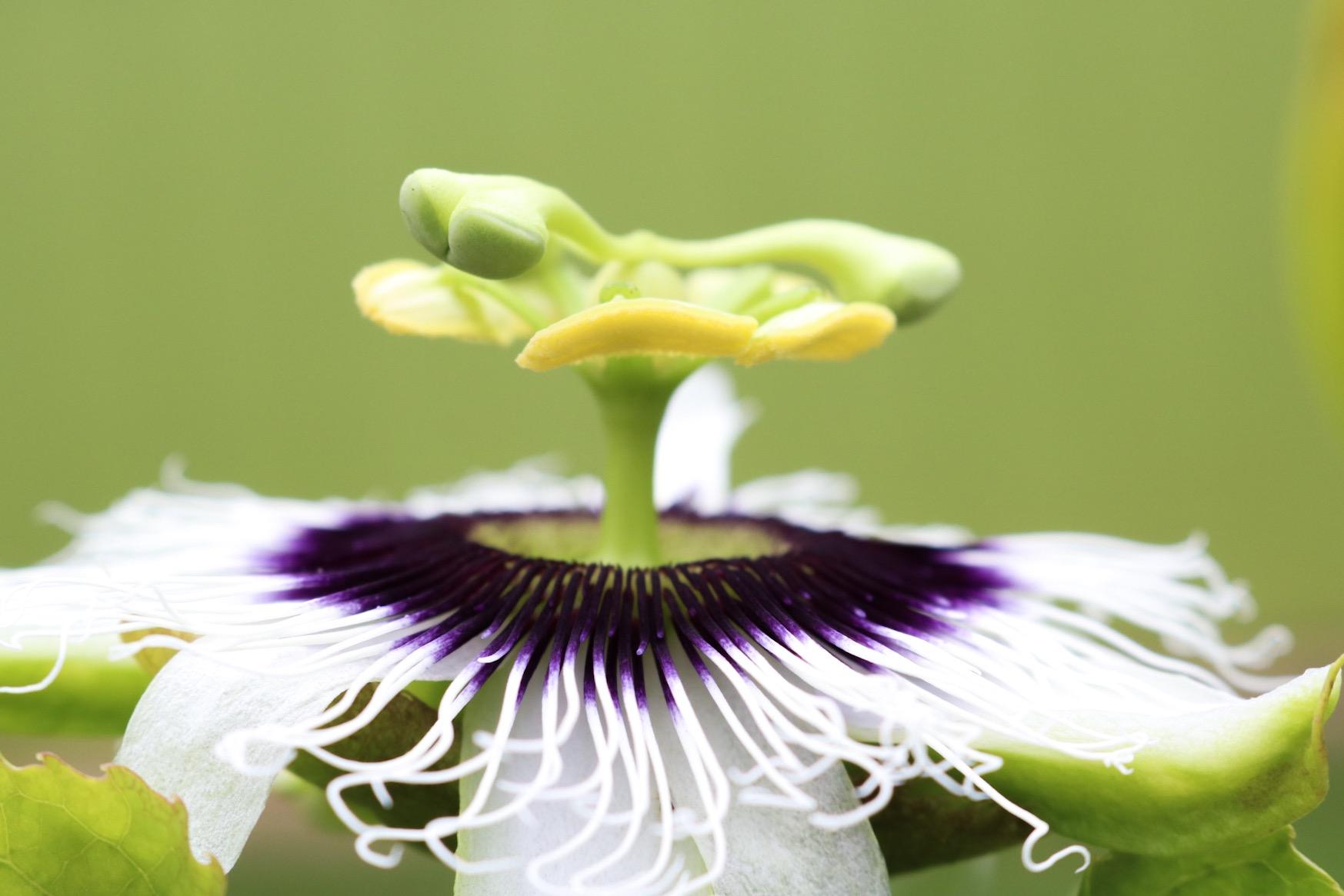 Honuapo-FlowerCloseup_1Original
